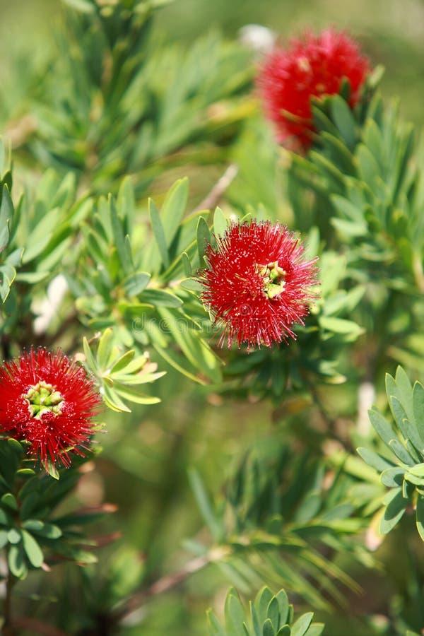 Flor do Bottlebrush imagens de stock