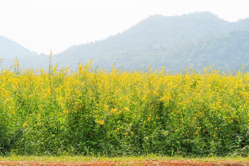 Flor do cânhamo de Sunn no campo fotografia de stock