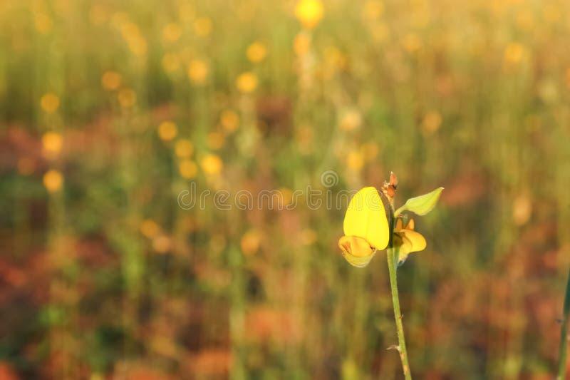 Flor do cânhamo de Sunn no fundo do campo do borrão fotos de stock royalty free