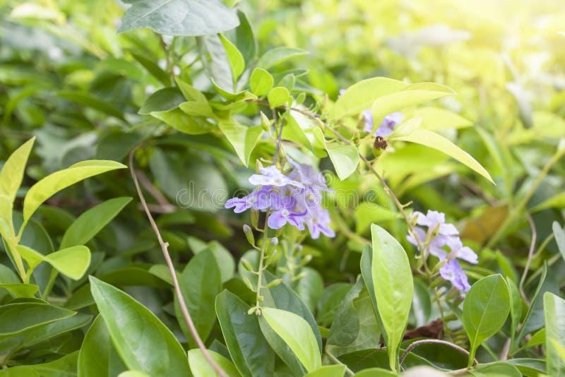 Flor do céu, gota de orvalho dourada, baga de pombo ou flor de Duranta com luz solar no jardim fotos de stock royalty free
