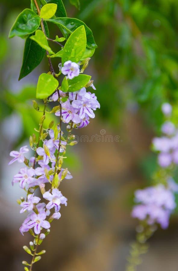 Flor do céu ou gota de orvalho dourada branca e flores roxas que florescem no jardim com gotas da água nas flores e nas folhas imagens de stock