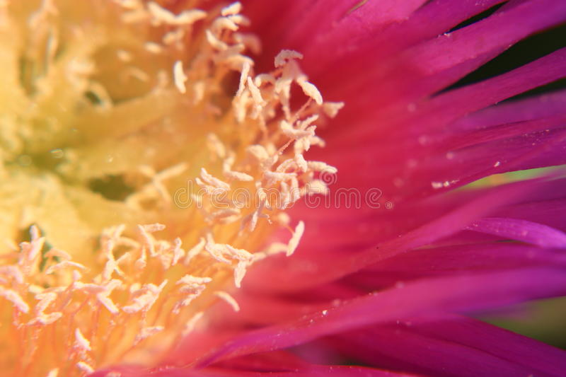 Flor do cacto imagem de stock royalty free