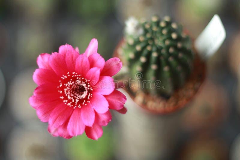 Flor do cacto fotografia de stock royalty free