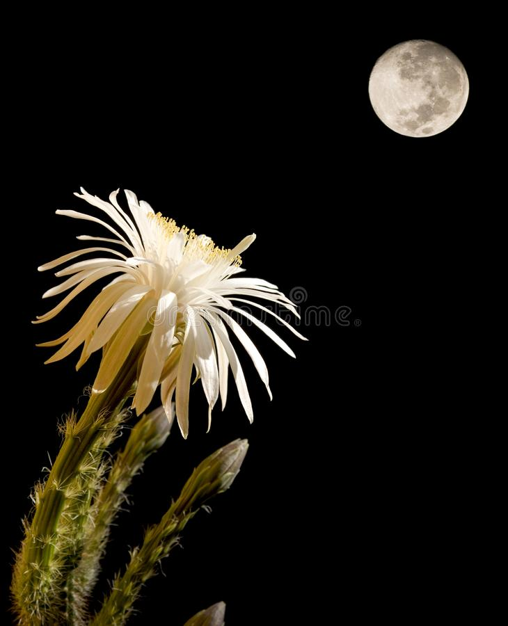 Flor do cacto com Lua cheia imagens de stock