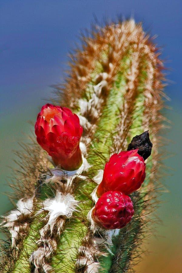 Flor do cacto de Cerrado do brasileiro fotos de stock