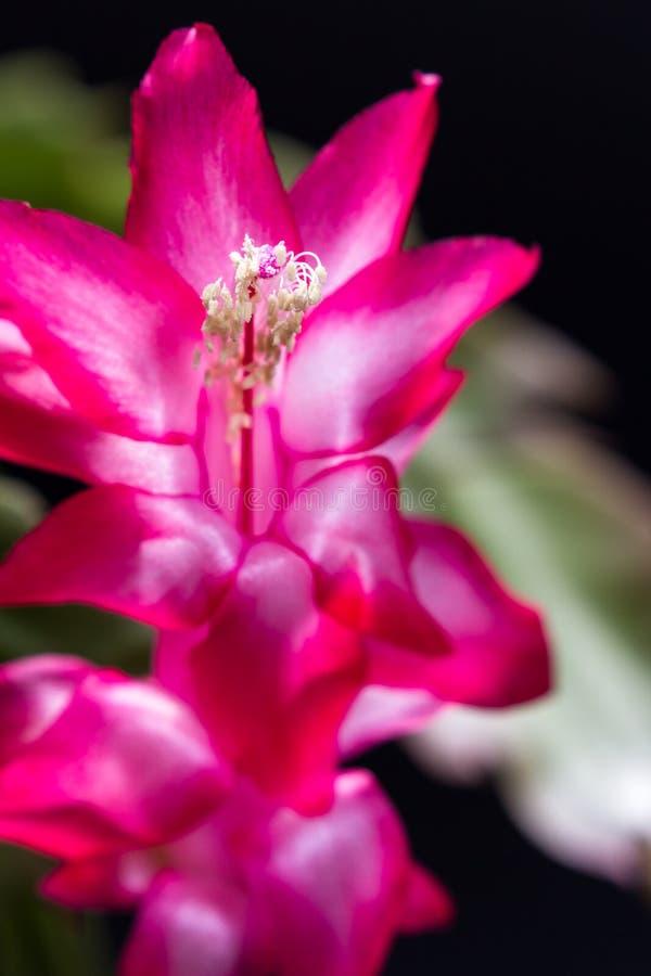 Flor do cacto de Natal imagem de stock