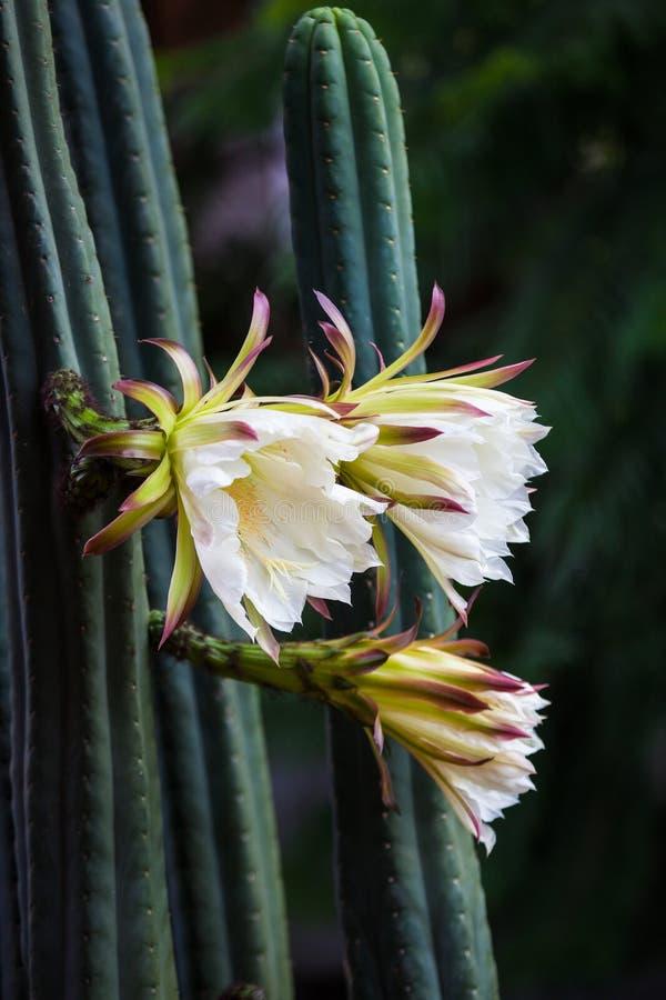 Flor do cacto de San Pedro com pétalas brancas fotografia de stock royalty free