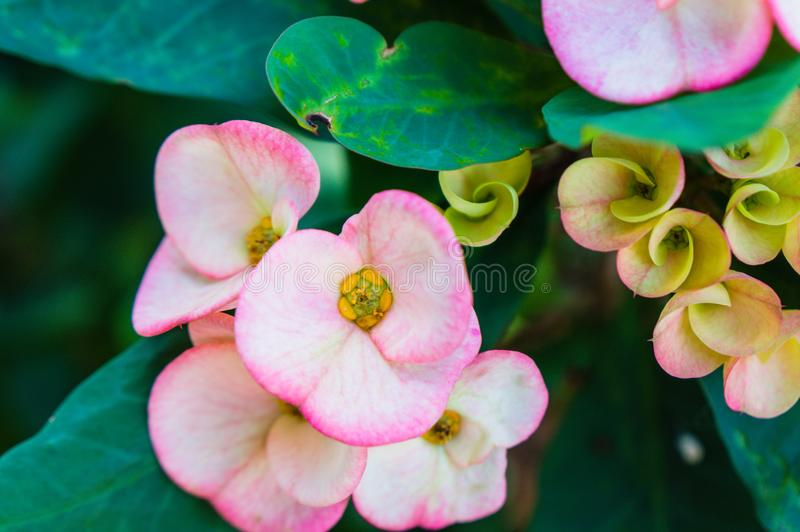 flor do cacto do rosa quente em um cacto imagens de stock royalty free
