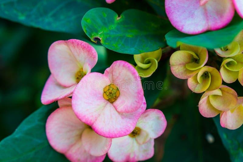 flor do cacto do rosa quente em um cacto imagens de stock