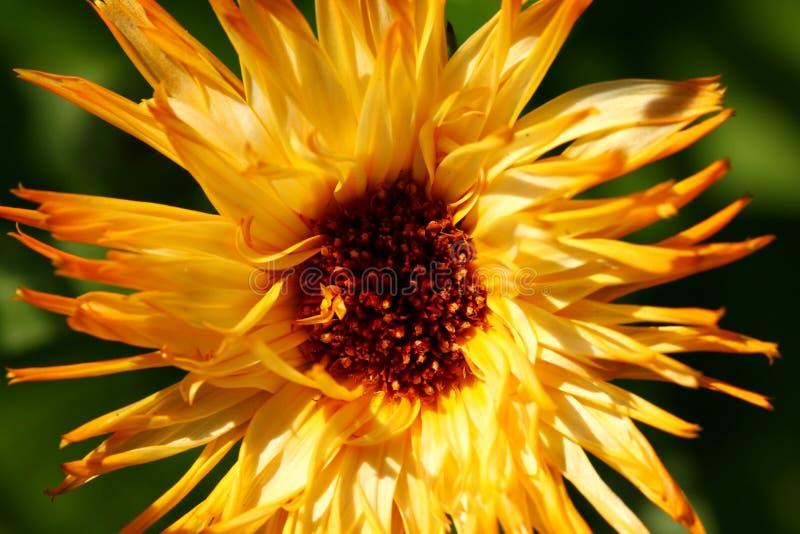 Flor do Calendula fotos de stock