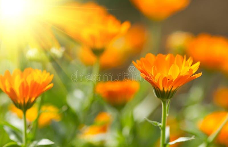 Flor do Calendula imagem de stock royalty free