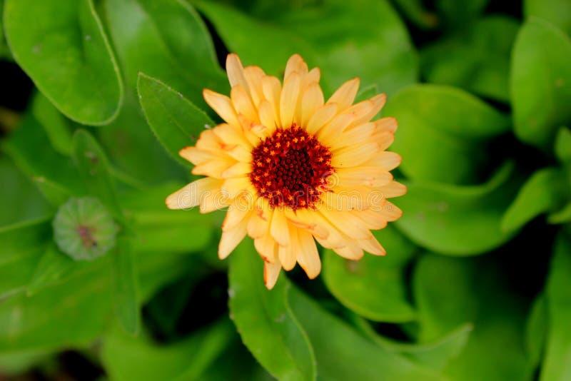 Flor do Calendula imagens de stock
