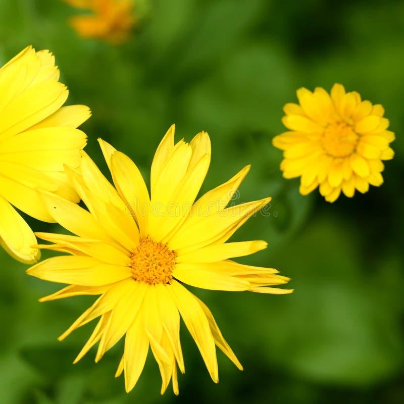 Flor do Calendula foto de stock