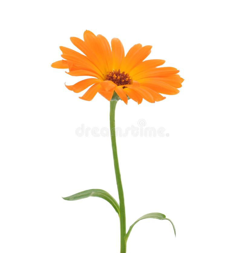 A flor do Calendula fechou-se acima do isolado no branco fotografia de stock royalty free
