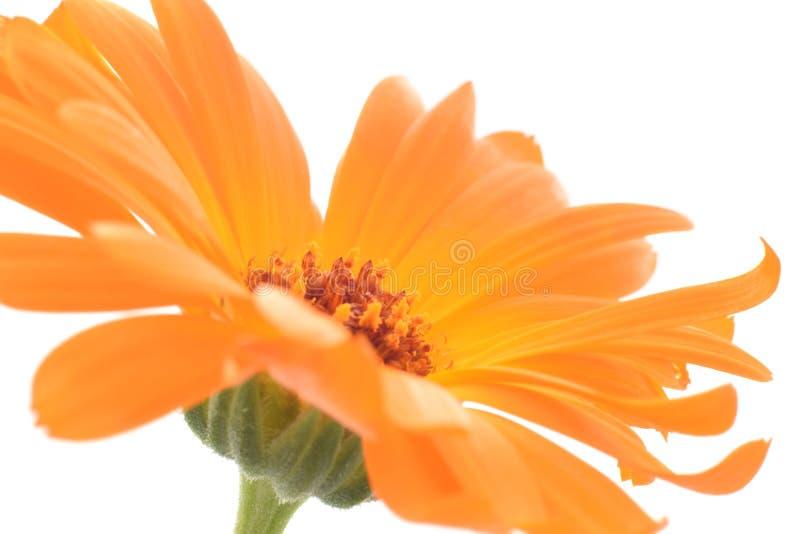 A flor do Calendula fechou-se acima do isolado no branco foto de stock