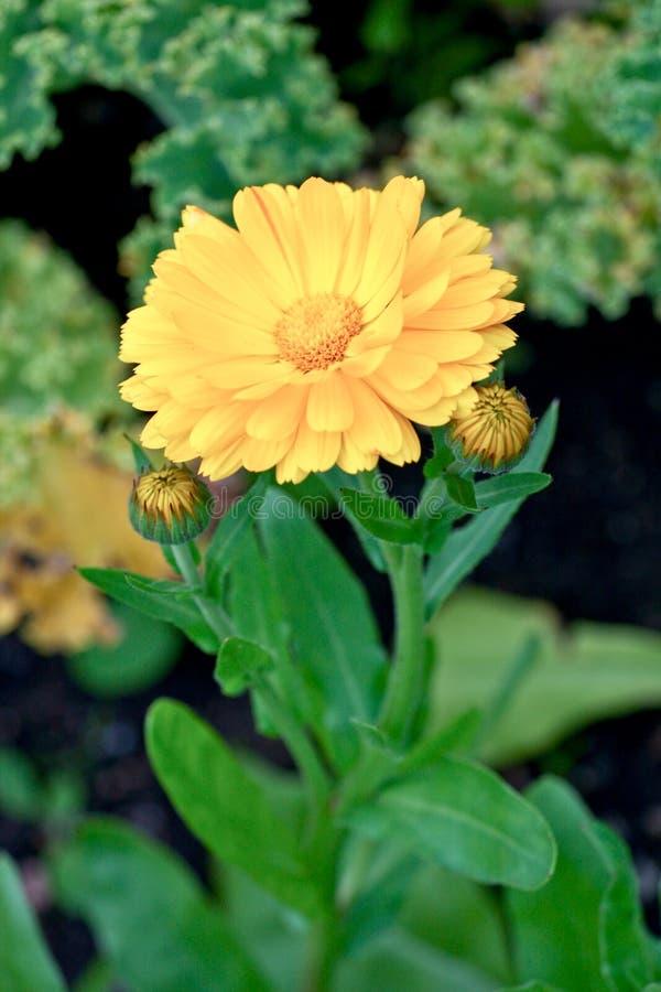 Flor do Calendula, Kylemore Abbey Garden, a oeste da Irlanda foto de stock royalty free