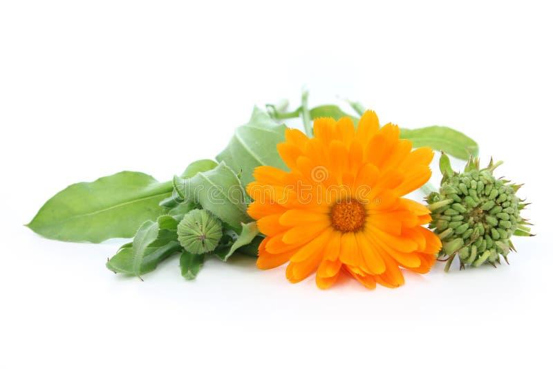 Flor do Calendula - sementes, botão, flor fotos de stock royalty free