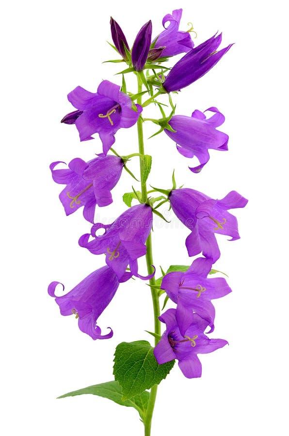 Flor do Campanula imagem de stock