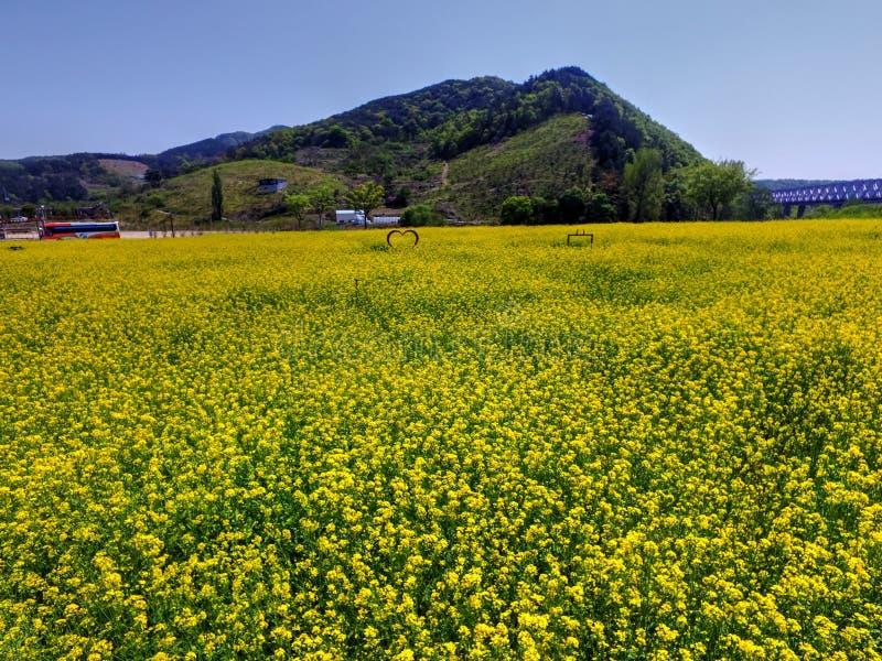 Flor do Canola de Yuchae que floresce em Gimhae Railbike, Gimhae, Coreia do Sul, Ásia imagens de stock royalty free