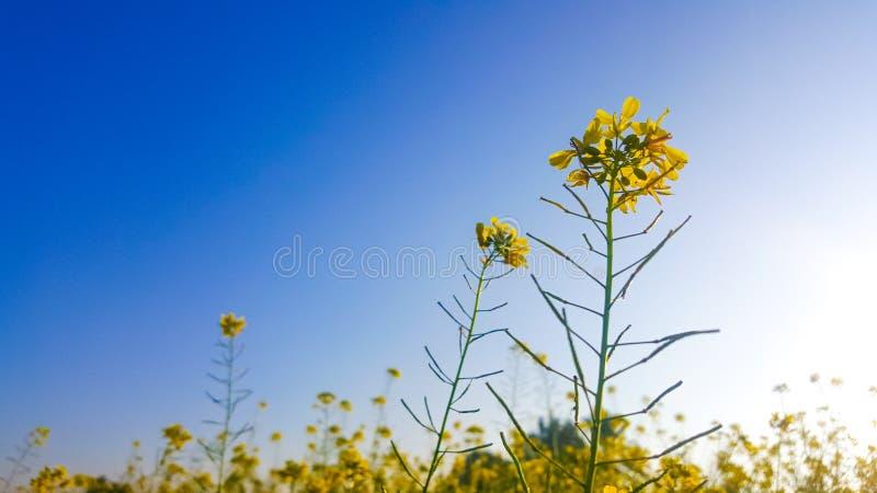 Flor do Canola e céu azul imagens de stock