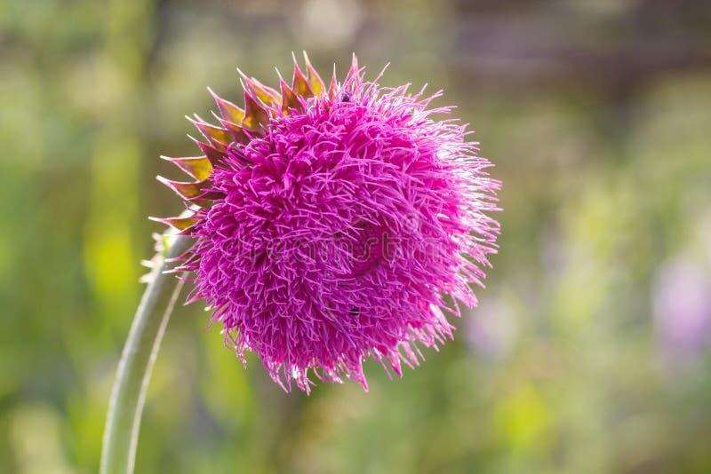 Flor do cardo na flor no campo Luminoso Profundidade de campo rasa Remédio erval do marianum do Silybum da planta do cardo de lei fotos de stock