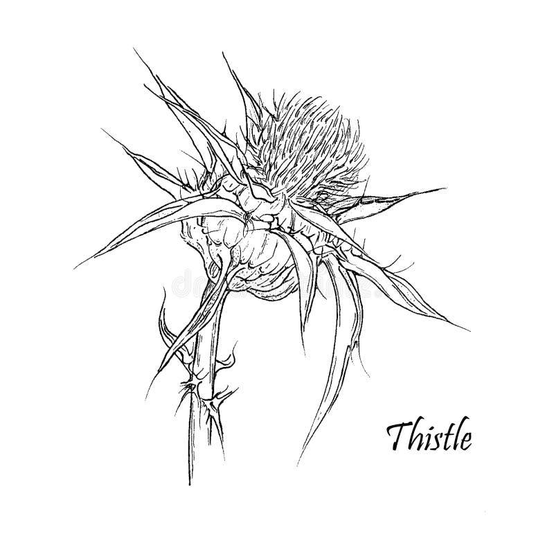 Flor do cardo no fundo branco imagens de stock royalty free