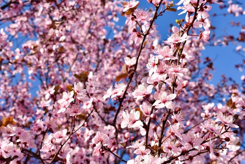 Flor do cerasus da cereja, do Prunus com flores cor-de-rosa e algumas folhas vermelhas, árvore de Cerasifera Pissardii do Prunus  imagens de stock royalty free