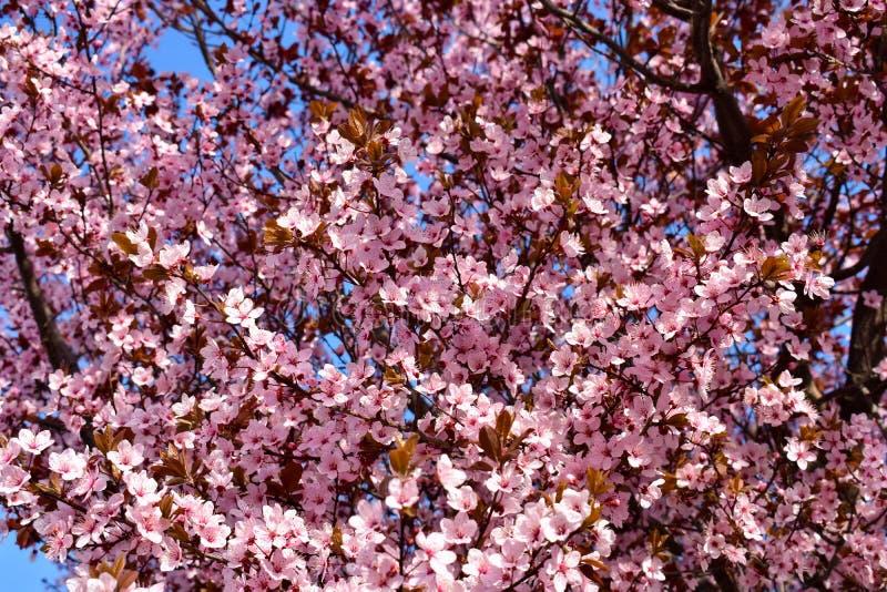 Flor do cerasus da cereja, do Prunus com flores cor-de-rosa e algumas folhas vermelhas, árvore de Cerasifera Pissardii do Prunus  foto de stock royalty free