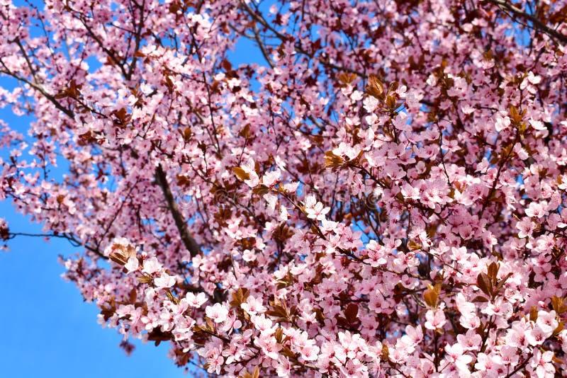 Flor do cerasus da cereja, do Prunus com flores cor-de-rosa e algumas folhas vermelhas, árvore de Cerasifera Pissardii do Prunus  fotografia de stock royalty free