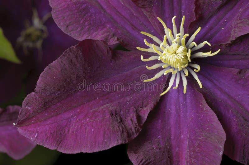 Flor do Clematis foto de stock