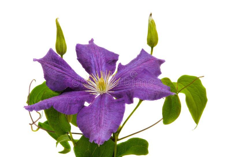 Flor do Clematis imagem de stock royalty free