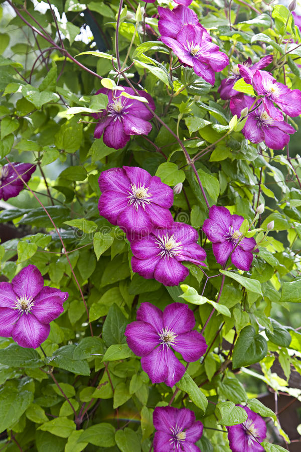 Flor do Clematis fotos de stock