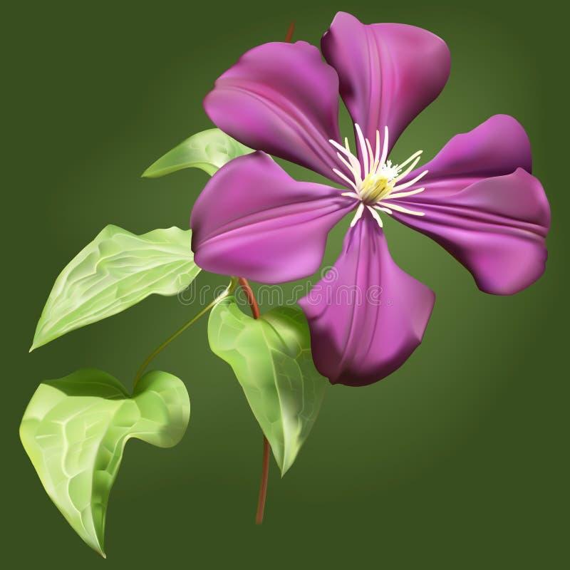 Flor do Clematis com folhas ilustração royalty free