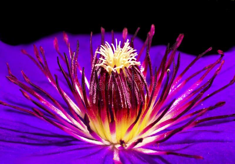 Flor do Clematis. imagem de stock royalty free