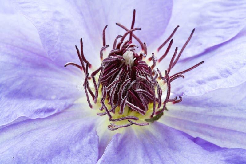 Flor do Clematis roxo imagem de stock royalty free