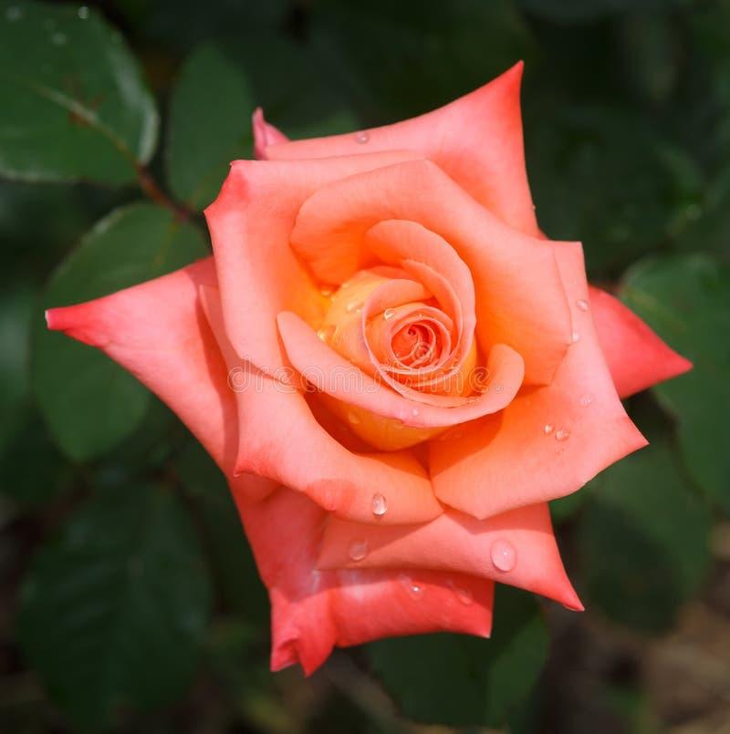 Flor do close-up cor-de-rosa de florescência da laranja com gotas de orvalho foto de stock royalty free