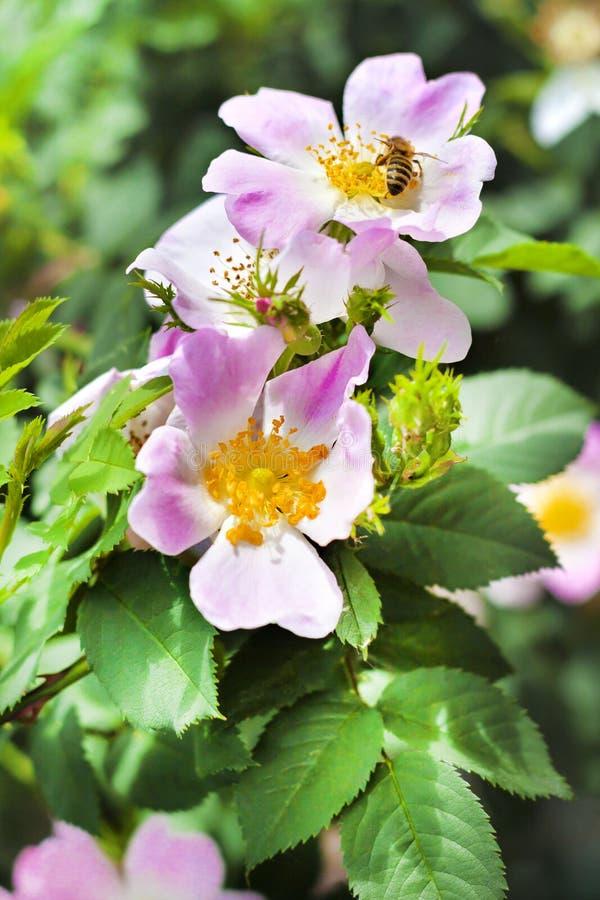Flor do close up da cão-rosa com uma abelha que recolhe o néctar nele fotografia de stock royalty free