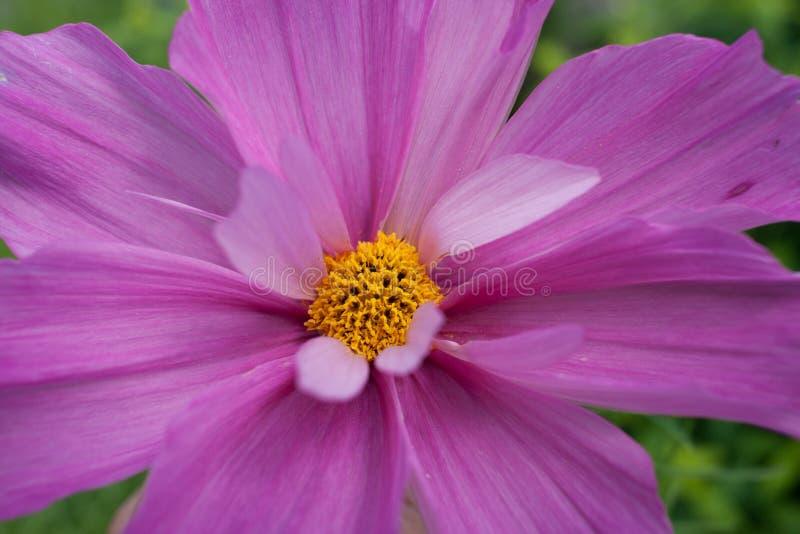 Flor do close-up da margarida cor-de-rosa com pétalas e meio amarelo foto de stock