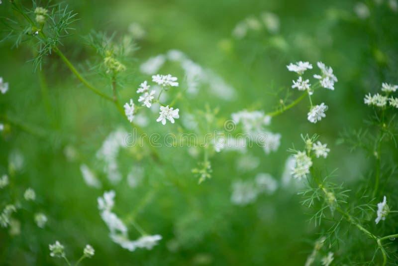 Flor do coentro imagem de stock