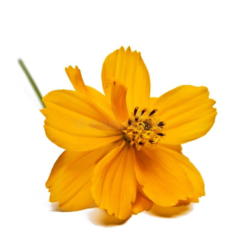 Flor do Coreopsis fotografia de stock royalty free