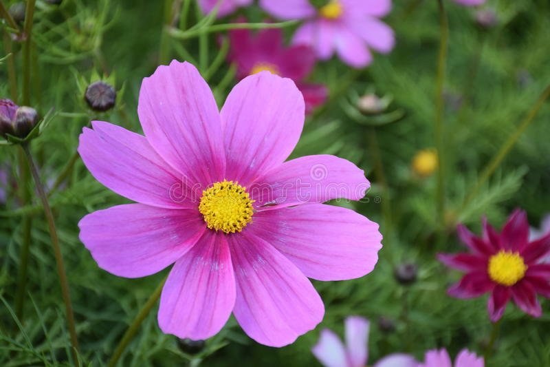 Flor do Coreopsis imagens de stock royalty free