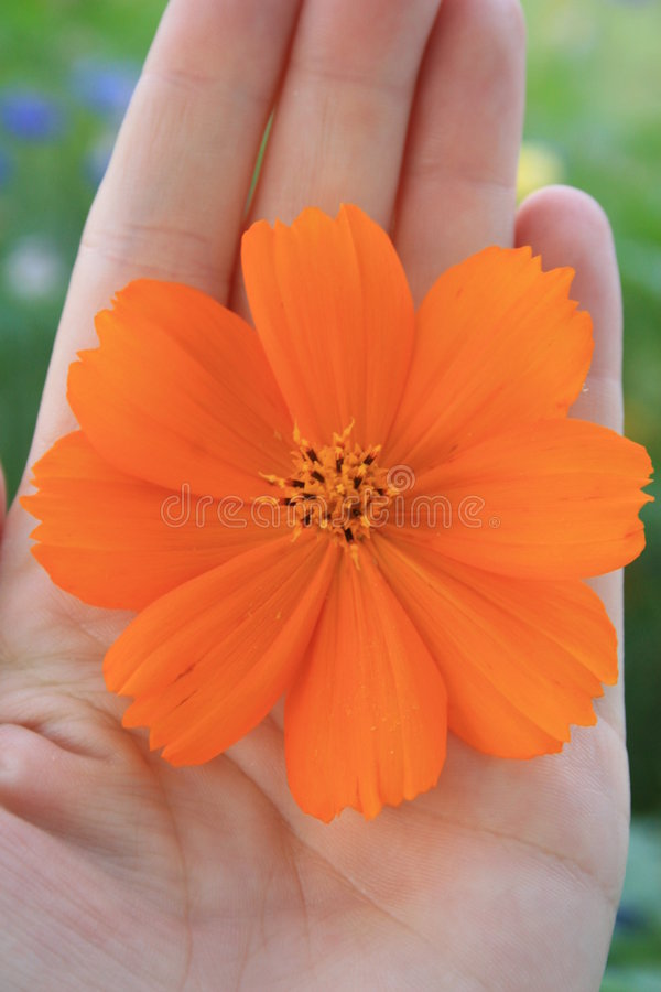 Flor do Coreopsis disponivel imagem de stock