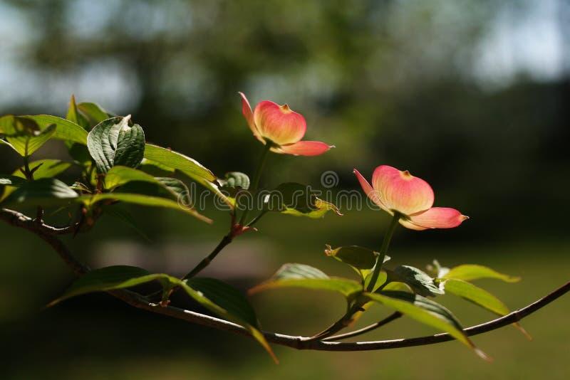 Flor do corniso foto de stock royalty free