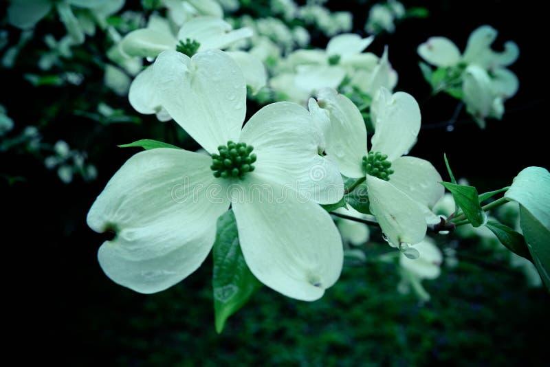 Flor 1 do corniso imagem de stock royalty free