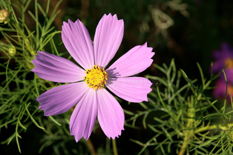 Flor do cosmos foto de stock royalty free