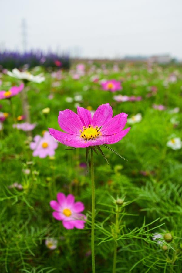 A flor do cosmos imagens de stock royalty free