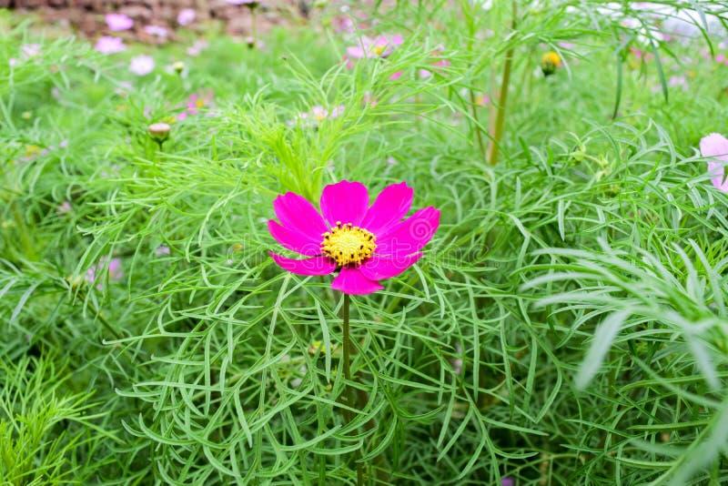 A flor do cosmos imagem de stock