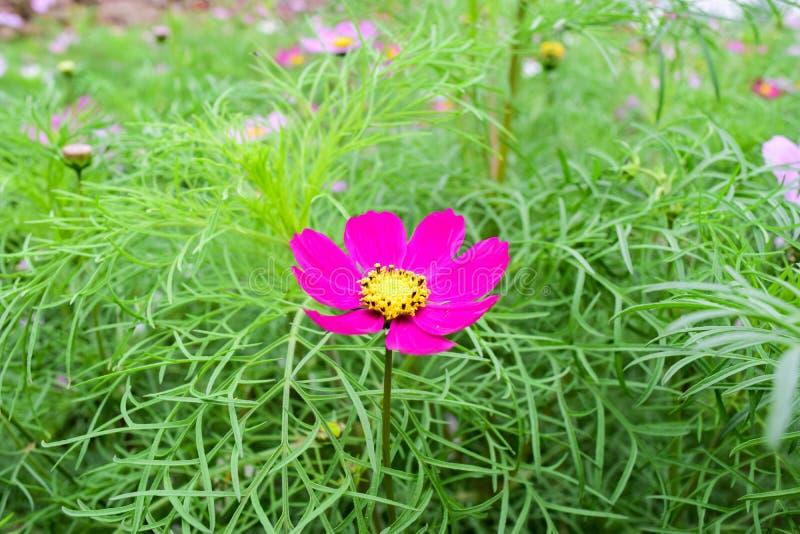 A flor do cosmos fotografia de stock