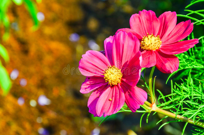 Flor do cosmos fotografia de stock royalty free