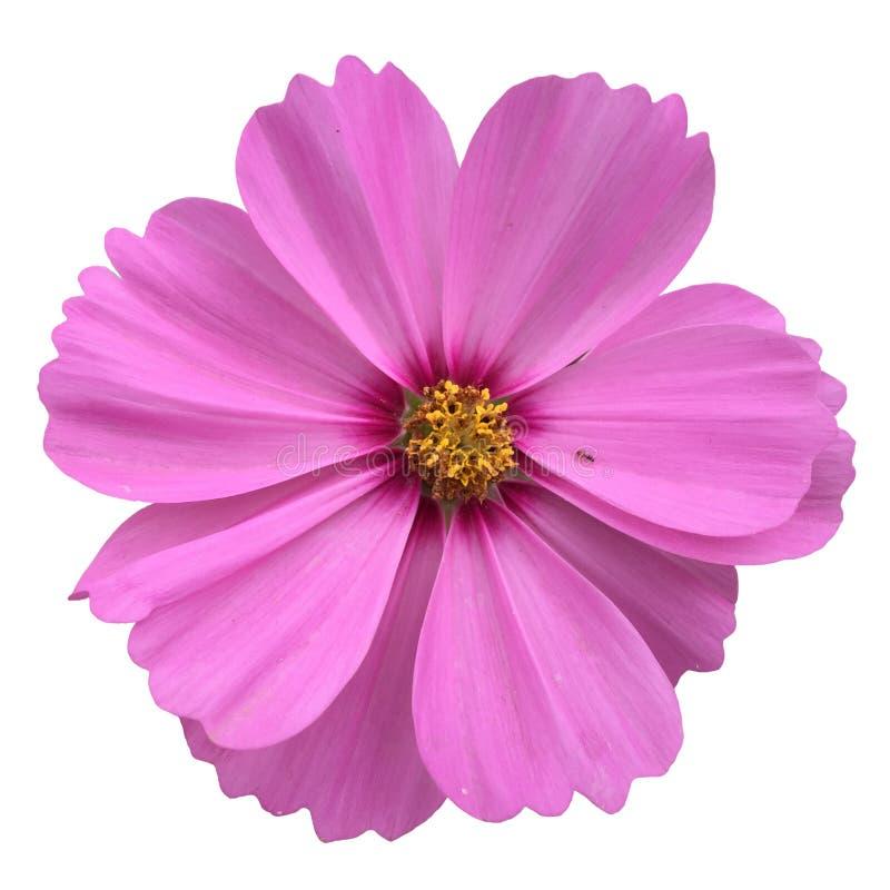 Flor do cosmos fotografia de stock royalty free